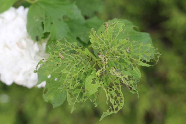 viburnumbeetle