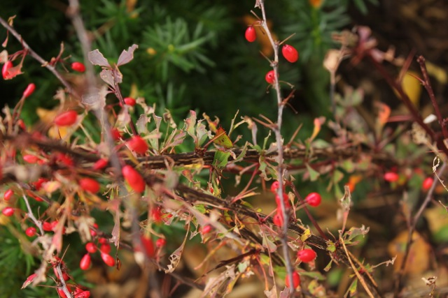 barberry2