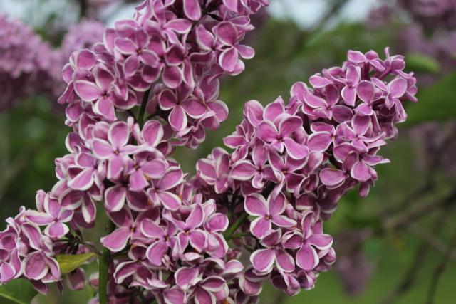Purple/white lilac