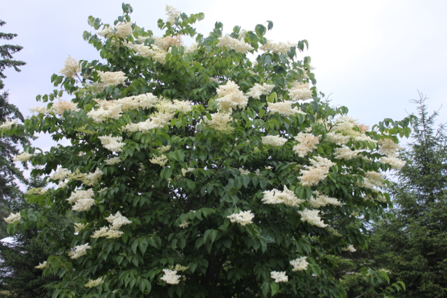 Japanese Lilac 2