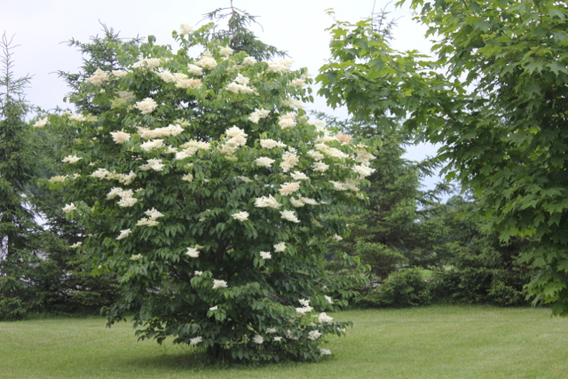 Japanese Lilac