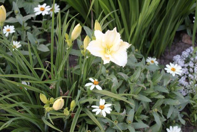White =daylily