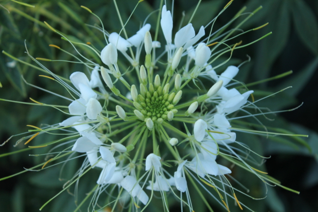 Cleome top