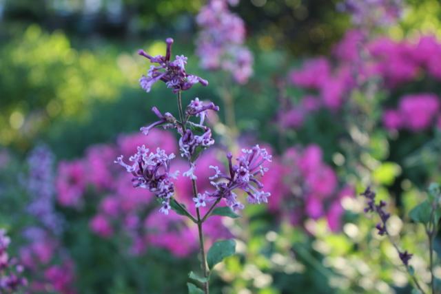 Lilac Reblooming