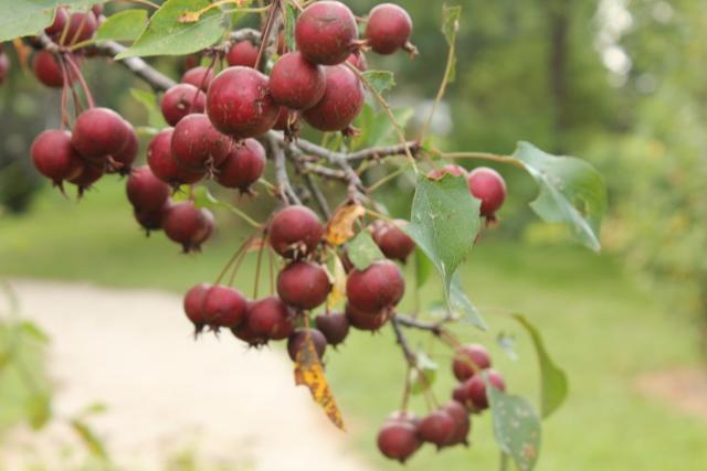Apple Tree full