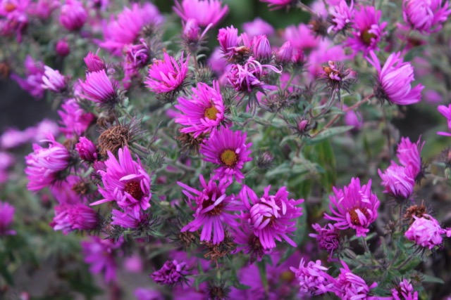 Fall bloom aster