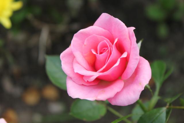 Garden image rose