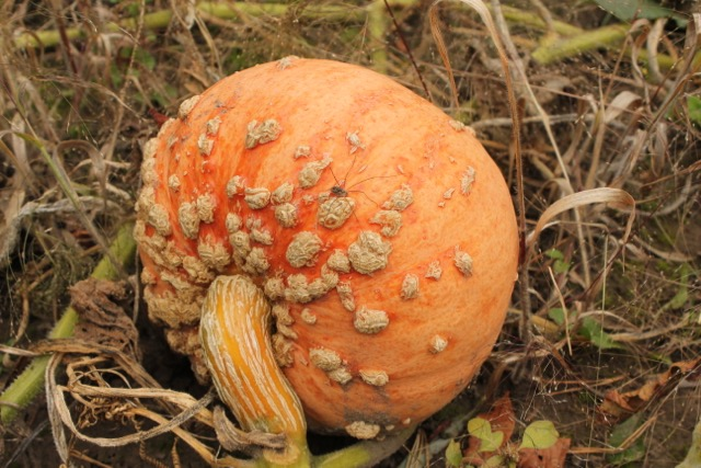 Fall Warty Pumpkin