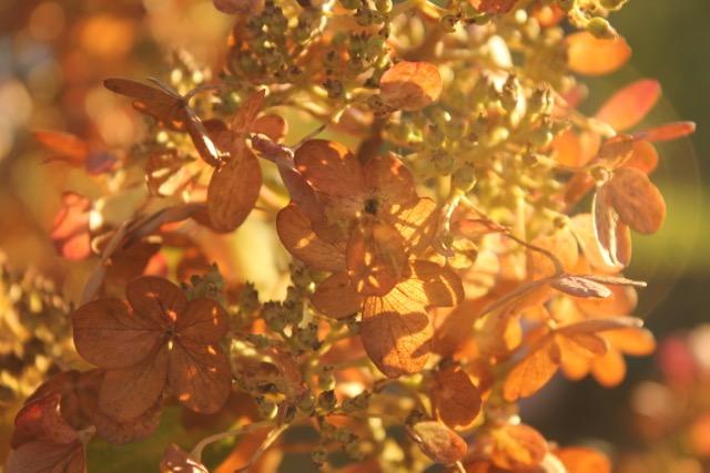 Fall hydrangea