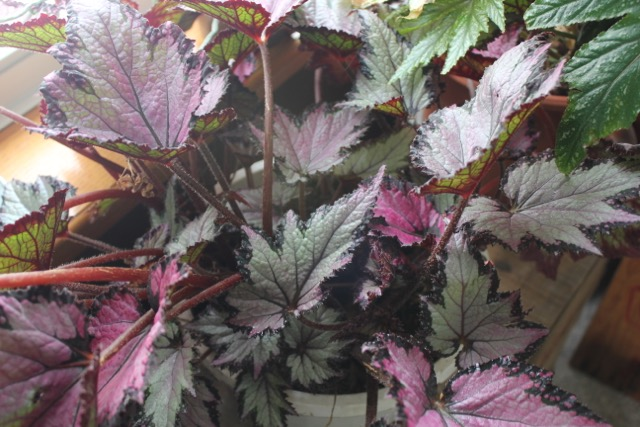 Houseplant - begonia