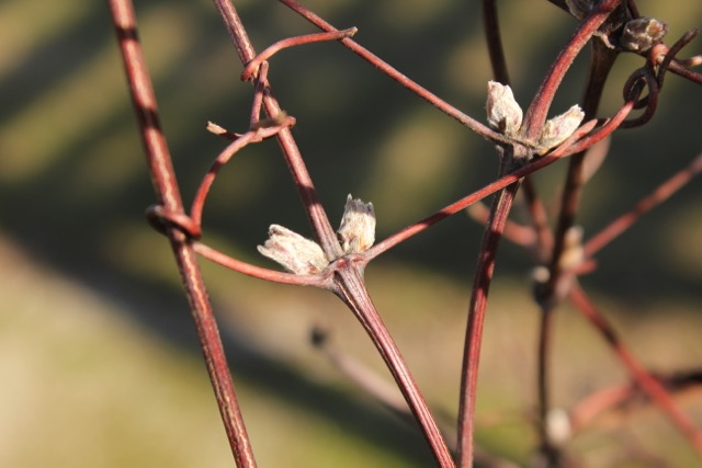 Spring 2016 - Clematis buds