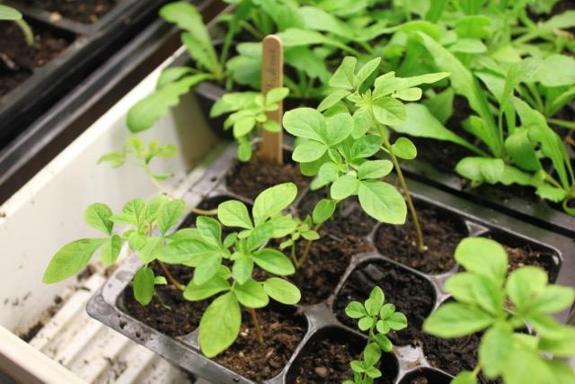 Seedling - cleome