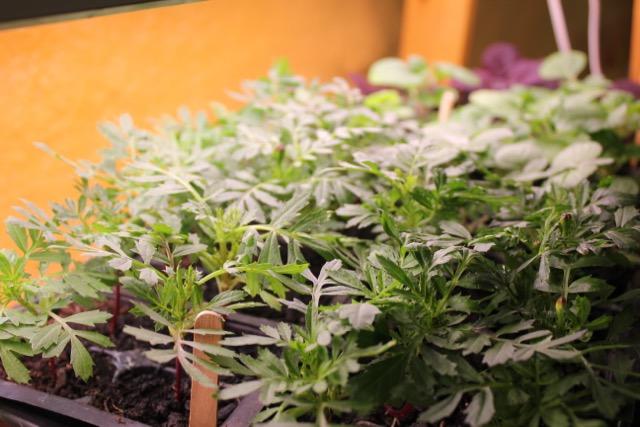Seedling - marigold