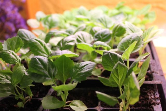 Seedlings Aster