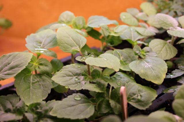 Seedlings - ageratum