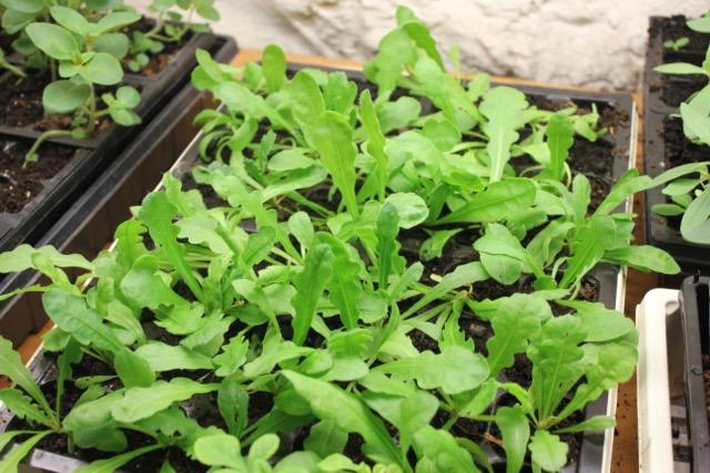 Seedlings - statice