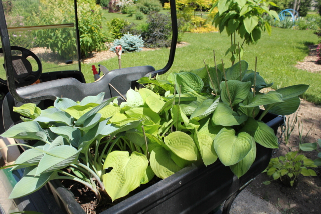 Golf Cart Hostas