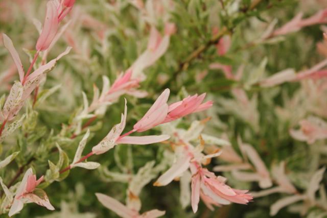 Willow Salix pink tips