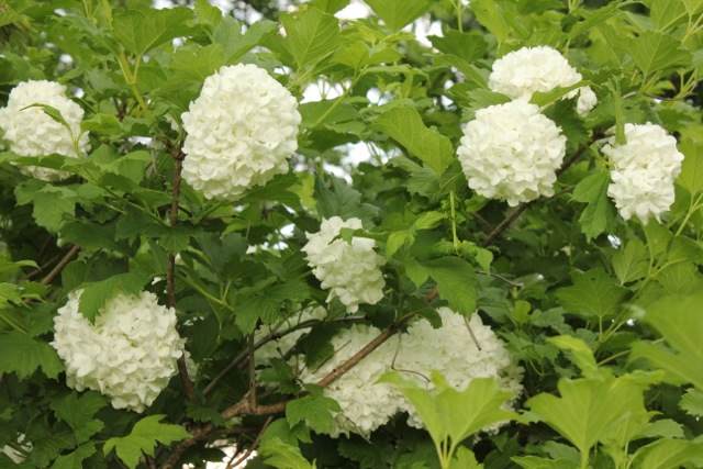 snowballbloom