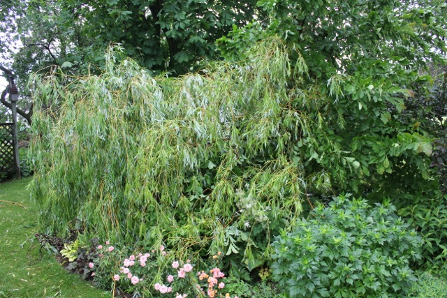 willow5
