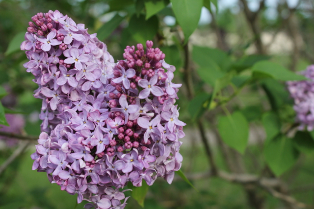 Lilac best