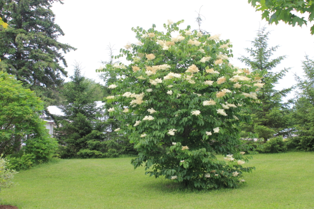 Japanese Lilac 7