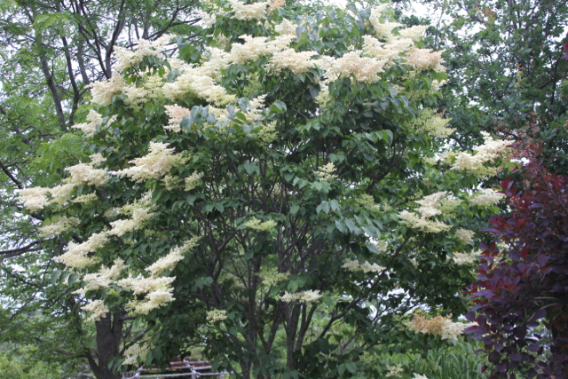 Japanese lilac 4