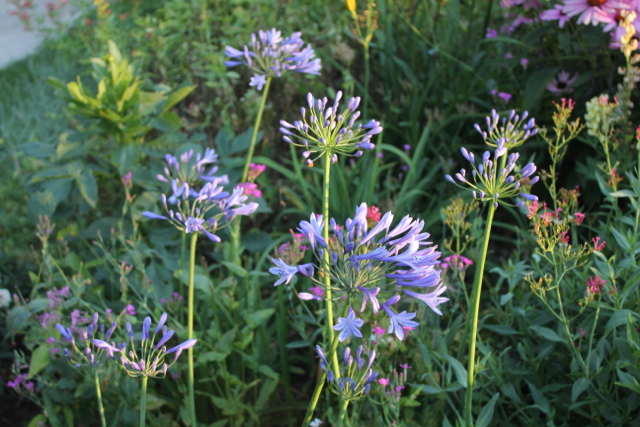 Agapanthus  Patch