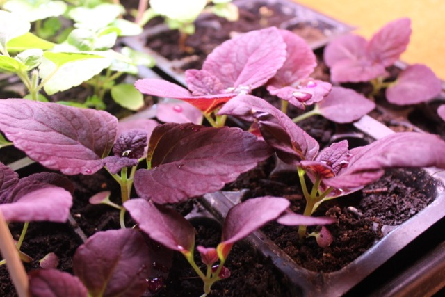 Seedling - Coleus
