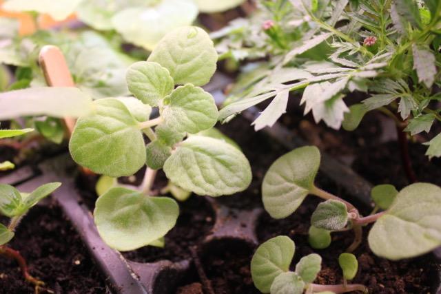 Seedling - Swedish ivy