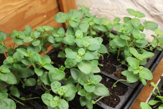 Seedling = snapdragon
