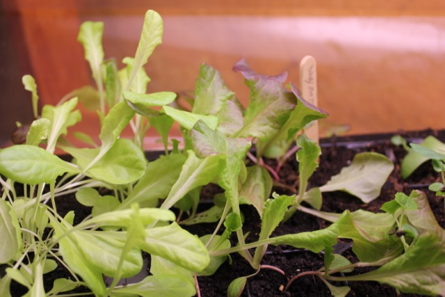 Seedlings - lettuce
