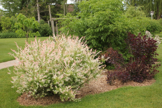 Willow Salix